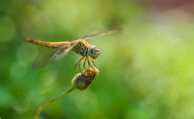 Dragonfly, insect, wings, bokeh