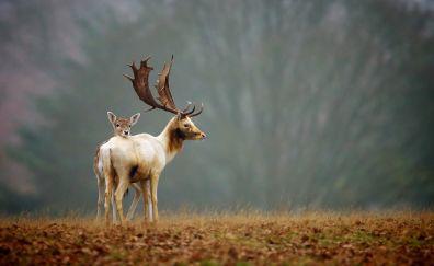 Reindeer, animal, young deer, horns