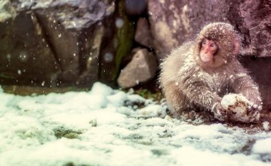 Young Japanese macaque, monkey, winter, snow, play