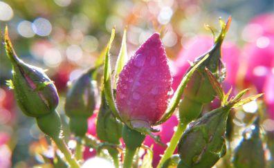 Bloom, roses, bud bokeh, water drops