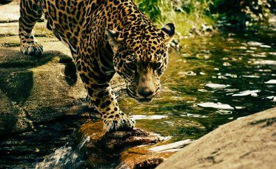 Predator, jungle, wild animal, leopard, 4k