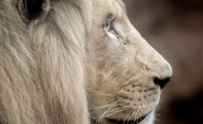 White lion, big cat, muzzle