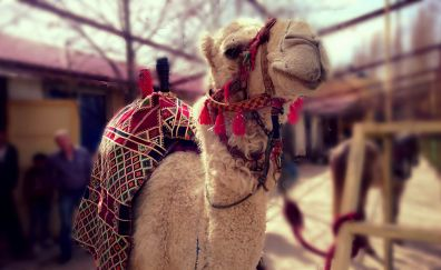 Camel, animal, domestic animal, pet