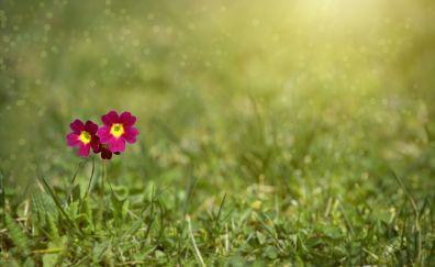 Meadow, grass, primrose flowers