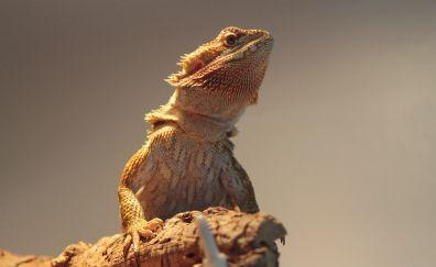 Reptile, bearded dragon, muzzle