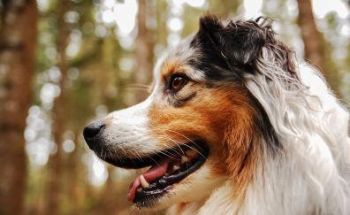 Australian shepherd, muzzle, bokeh, teeth