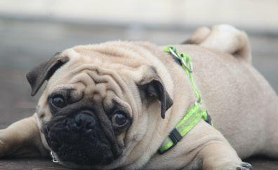 Pug, innocence, face, dog, lying down, animal
