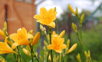 Yellow lily, flowers, spring