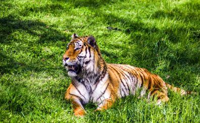 Predator, big cat, tiger, sitting, grass