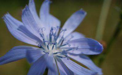 Close up, blossom, pollen, blue flower, 4k