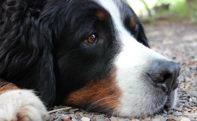 Bernese Mountain Dog, relaxed, muzzle