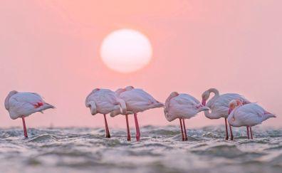 Pink bird, sunset, flamingos
