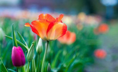 Garden, tulip flowers, blur, 4k