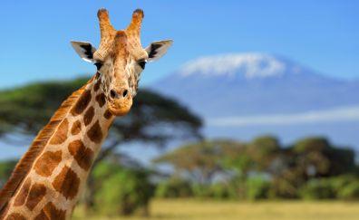 Giraffe muzzle, animal, big animal