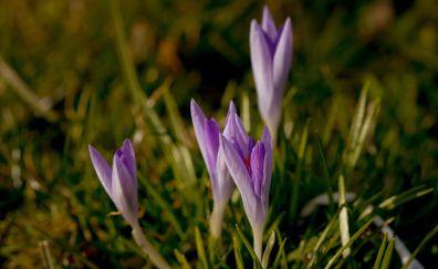 Spring, crocus flowers, bud