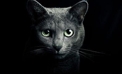 Black Russian Cat