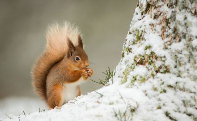 Squirrel, winter, eating