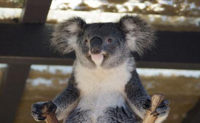 Cute, wild animal, koala