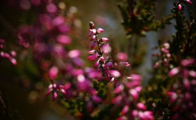 Erica plant, blossom, pink small flowers, blur