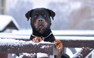 Winter, Rottweiler dog, stare, animal