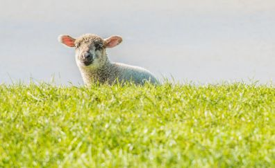 Lamb, playing, grass field, curious