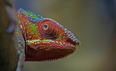 Chameleon, lizard, muzzle, 4k
