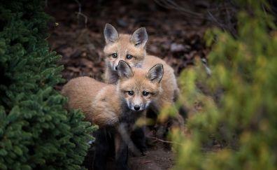 Fox baby, predator, animals
