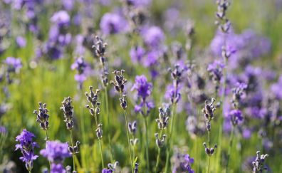Meadow, plants, flowers, lavender