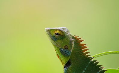 Chameleon, muzzle, lizard, muzzle, 5k
