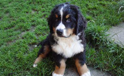 Bernese Mountain dog, puppy, pet