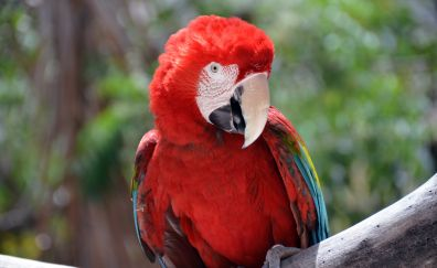 Red parrot, macaw, 4k