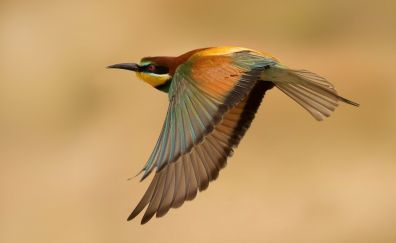 Bee-eater, colorful bird, fly, wings