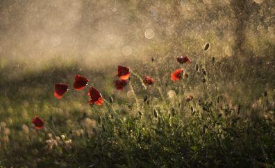 Summer, meadow, flowers, red poppy, bokeh