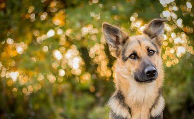 German Shepherd, dog, muzzle, bokeh