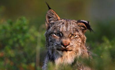 Lynx, big cat, confident, muzzle