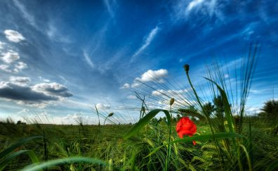 Poppy, meadow, plants, nature, sunny day