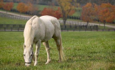 White horse, grazing, landscape, animal