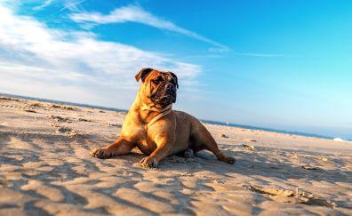 Bulldog, dog, animal, beach, sand, sit