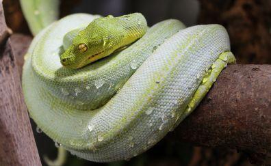 Snake, green reptile, animal