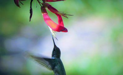Hummingbird, flowers, wings, fly, bird