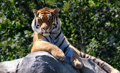 Tiger sitting on rock, animal, wildlife