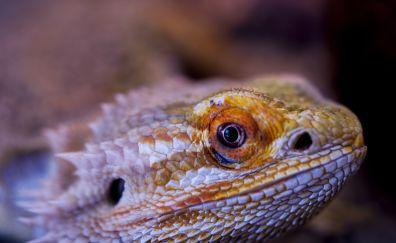 Bearded, Agama, lizard, reptile, muzzle