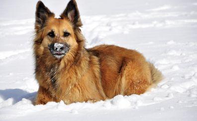 German shepherd, dog, winter, 4k