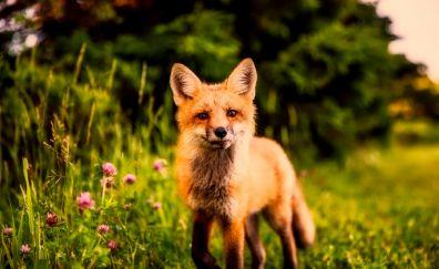 Cute, red fox, meadow, walk, predator