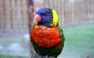 Colorful, parrot, Rainbow lorikeet, bird