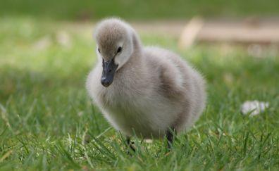 Baby bird, goose, walk, grass