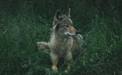 Wolf, wild, sit, calm, predator, grass, 4k