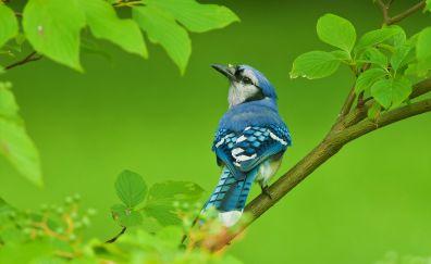 Blue jay, bird, tree branch, 4k