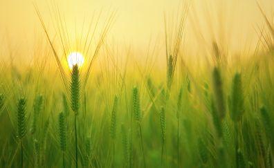 Barley wheat field, grass threads, sunrise, 4k
