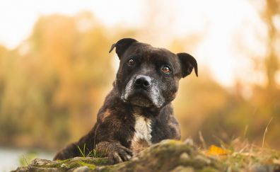 Calm, curious, dog, pit bull, muzzle
